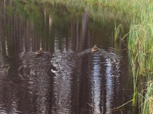kaczki na stawie z Smerczyńskiego